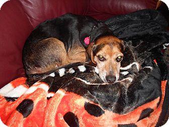 Beagle Dog for adoption in Cincinnati, Ohio - Louie: Bridgetown