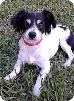 Rat Terrier Mix Dog for adoption in Jacksonville, Florida - Tina Marie