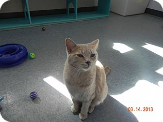 Domestic Shorthair Cat for adoption in Buffalo, Wyoming - Escape