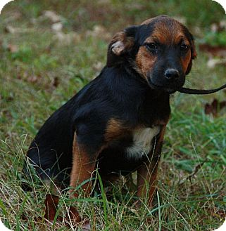 Beagle/Hound (Unknown Type) Mix Puppy for adoption in Harmony, Glocester, Rhode Island - Butch