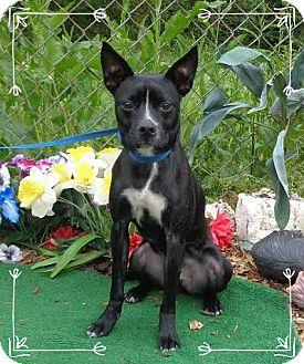 Boston Terrier Mix Dog for adoption in Marietta, Georgia - AXEL