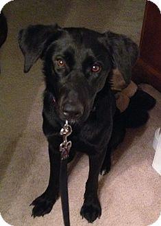 Labrador Retriever Mix Dog for adoption in Evergreen, Colorado - Sashay