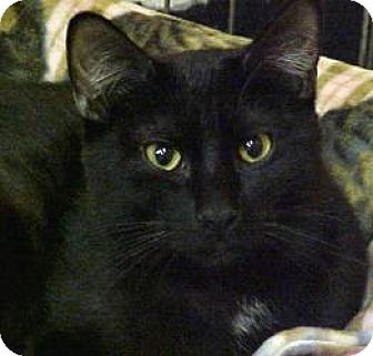 Domestic Shorthair Cat for adoption in West Des Moines, Iowa - Diego