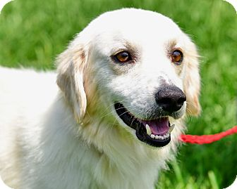 Golden Retriever Mix Dog for adoption in New Canaan, Connecticut - Jeff