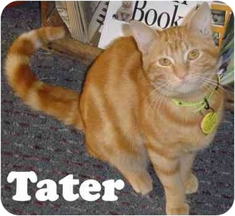 Domestic Shorthair Cat for adoption in Eugene, Oregon - Tater