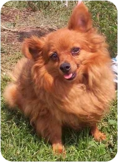 Pomeranian Dog for adoption in Brigham City, Utah - Tipster