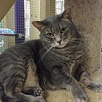 Domestic Shorthair Cat for adoption in Wilmington, Delaware - Kansas