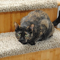 Domestic Shorthair Cat for adoption in Davison, Michigan - Rolo