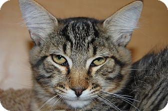 Domestic Shorthair Kitten for adoption in Whittier, California - Stripes