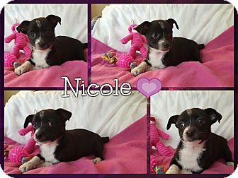 King Charles Spaniel/Chihuahua Mix Puppy for adoption in Foster, Rhode Island - Nicole