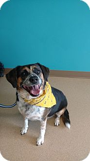 Beagle Mix Dog for adoption in Brookings, South Dakota - Katie