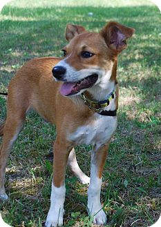 Foxhound/Jack Russell Terrier Mix Puppy for adoption in Coeburn, Virginia - FOX