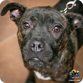 Pit Bull Terrier Mix Dog for adoption in Evansville, Indiana - Princess