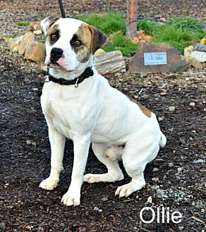 American Bulldog Mix Dog for adoption in Yreka, California - Ollie
