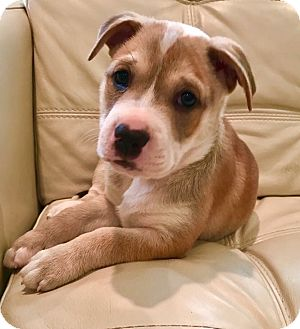 Boxer/American Bulldog Mix Puppy for adoption in Brattleboro, Vermont - Bud