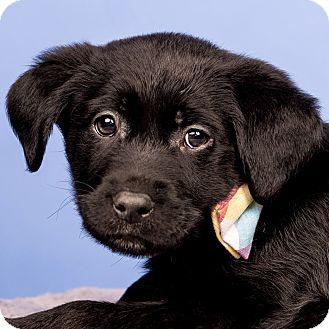 Labrador Retriever Mix Puppy for adoption in Cincinnati, Ohio - Waylon