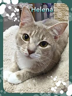 Domestic Shorthair Cat for adoption in Atco, New Jersey - Helena