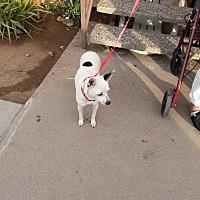 Rat Terrier/Chihuahua Mix Dog for adoption in Mesa, Arizona - Mariah