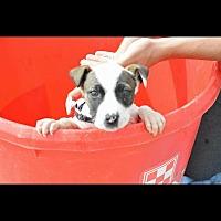 Adopt A Pet :: Rose - Colorado City, TX