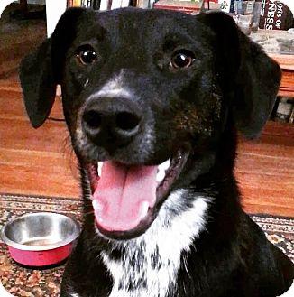 Labrador Retriever/Shepherd (Unknown Type) Mix Puppy for adoption in Lexington, Kentucky - Marty