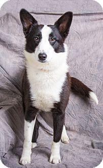 Border Collie/Sheltie, Shetland Sheepdog Mix Dog for adoption in Anna, Illinois - SATURN