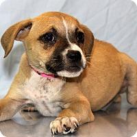 Adopt A Pet :: Cara - Waldorf, MD