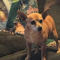 Adopt A Pet :: ChiChi - Fillmore, IN