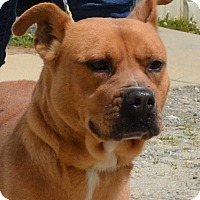 Boxer Mix Dog for adoption in Allentown, New Jersey - Willow