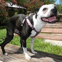 Boston Terrier Mix Dog for adoption in Umatilla, Florida - Lana