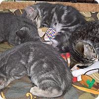 Adopt A Pet :: BIANCA'S KITTENS - Raleigh, NC