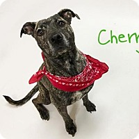 Pit Bull Terrier Mix Dog for adoption in Sacramento, California - SWEETIE
