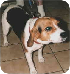 Beagle Mix Dog for adoption in Ferryville, Wisconsin - shilo