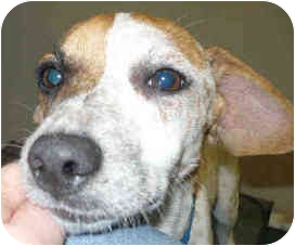 Dachshund Dog for adoption in San Clemente, California - DIETER