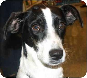 Labradoodle Mix Dog for adoption in Kokomo, Indiana - Ally