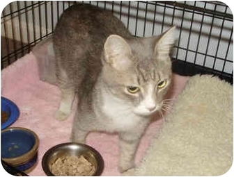 Domestic Shorthair Cat for adoption in Chester, Maryland - Zenith