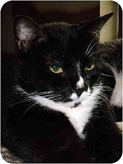 Domestic Shorthair Cat for adoption in Orlando, Florida - Sue Sue