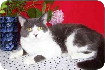 British Shorthair Cat for adoption in Taylor Mill, Kentucky - Petey-DECLAWED