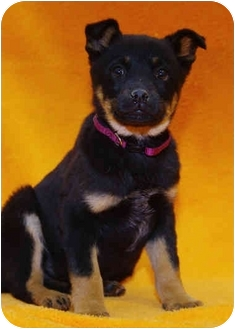 Shepherd (Unknown Type)/Rottweiler Mix Puppy for adoption in Westminster, Colorado - OBOE