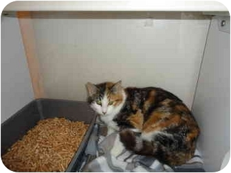 Calico Cat for adoption in Spokane, Washington - Katrina