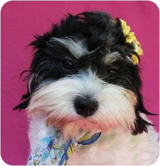 Havanese Dog for adoption in Irvine, California - Betty Crocker