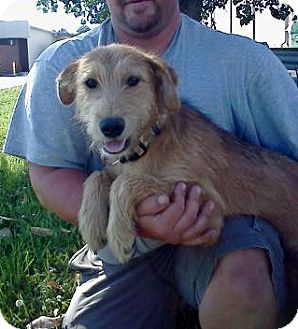 Fox Terrier (Wirehaired) Mix Dog for adoption in Baxter, Tennessee - Rusty