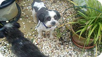 Shih Tzu Dog for adoption in Winston Salem, North Carolina - Mickey