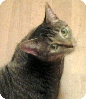 Domestic Shorthair Cat for adoption in Troy, Michigan - Millicent