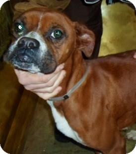 Boxer Dog for adoption in Oswego, Illinois - Bonnie