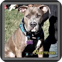 American Pit Bull Terrier Dog for adoption in Spring, Texas - Sherman