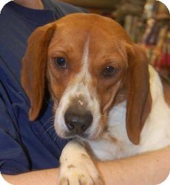 Beagle Mix Dog for adoption in Brooklyn, New York - Kayla