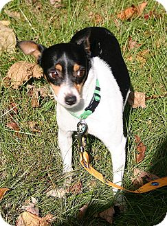 Rat Terrier Mix Dog for adoption in Carmel, Indiana - Kricket Holly