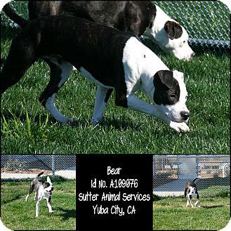 American Pit Bull Terrier Mix Dog for adoption in Yuba City, California - 02/11 Bear