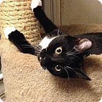 Adopt A Pet :: Smudge - Port Republic, MD