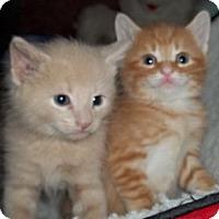 Adopt A Pet :: Orange & Buff - Acme, PA